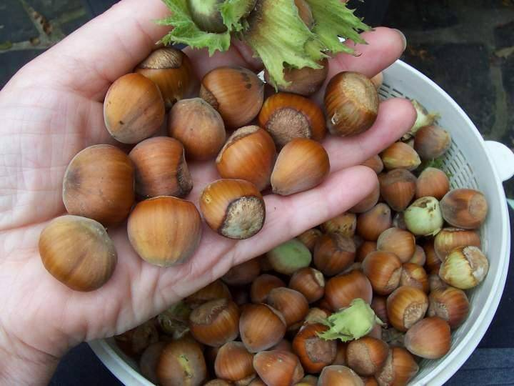 Hazelnut and other Nuts Good Price