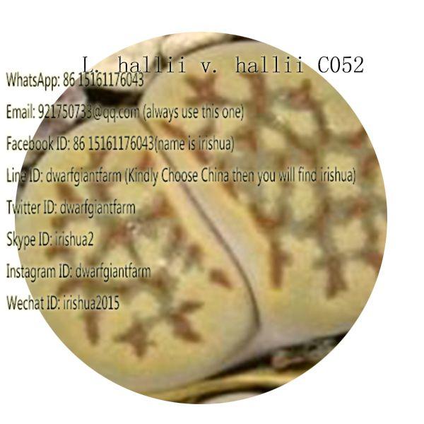 50pcs a set L. hallii v. hallii C052 seed 25usd