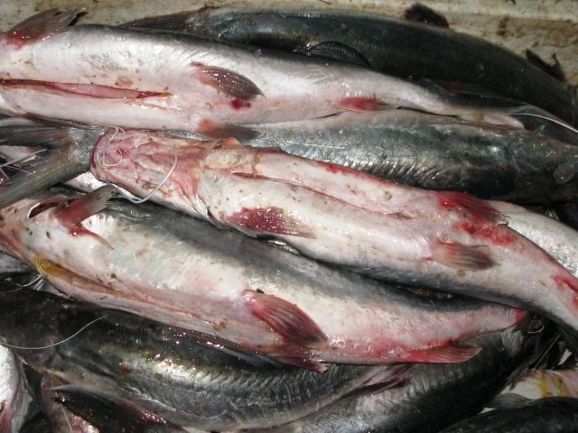 Fresh Freshwater Ayer fish