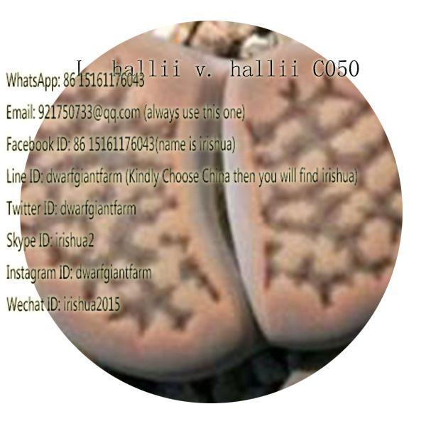 50pcs a set L. hallii v. hallii C050 seed 25usd