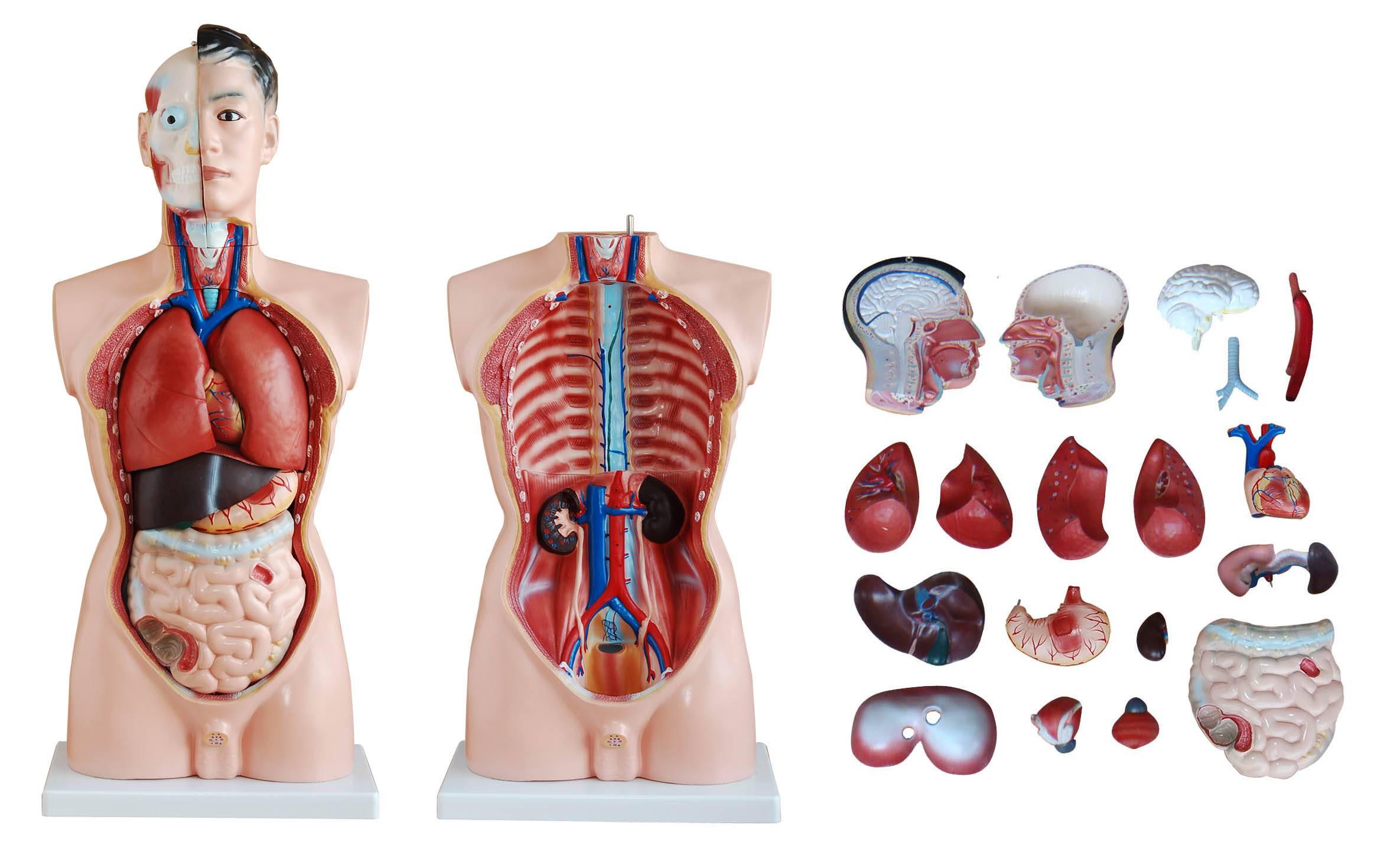 85cm Human Anatomy Male Torso 19 Parts