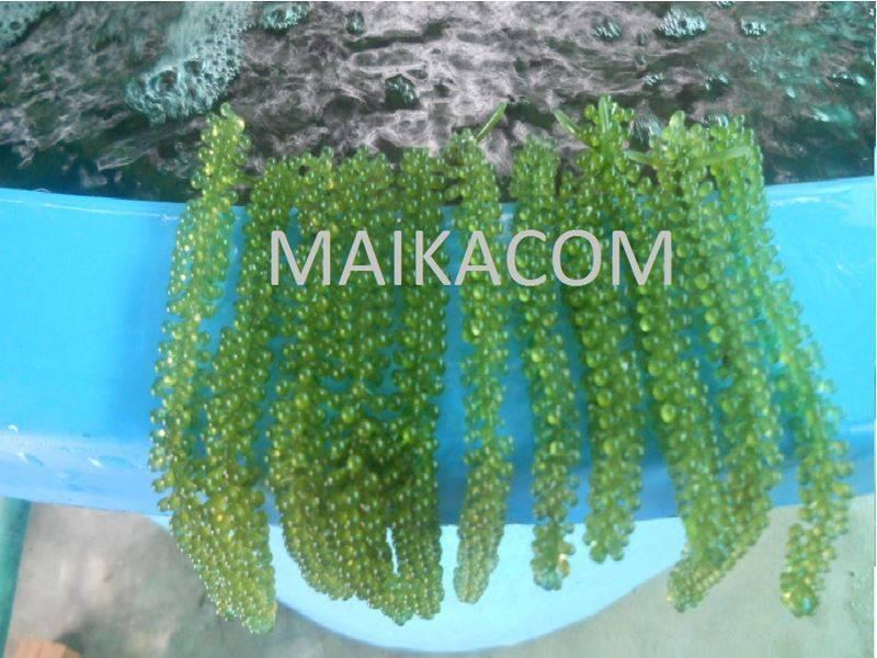 Fresh Seagrapes