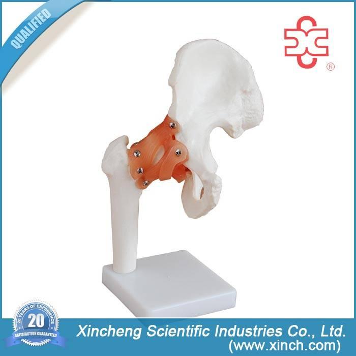 Hip Joint Model