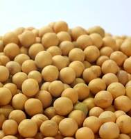 bulk soybean seed  with good quality for squeezing
