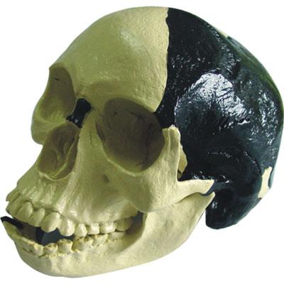 Skull Skeleton Models For Learning And Study