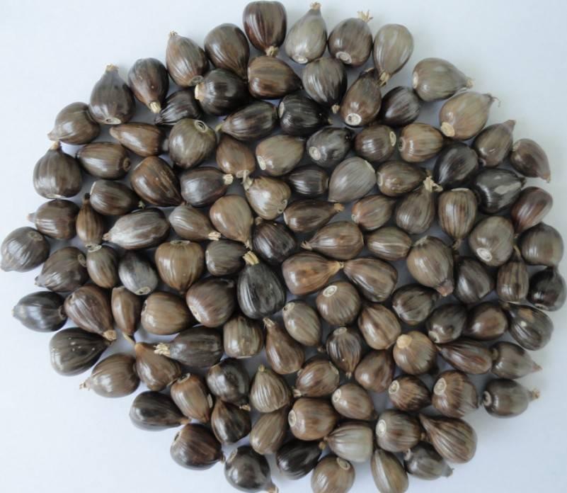 sell Laos Coix seed (also called Pearl barley,Jobs tear,YiYi Ren,Adlay,Coicis semen,Hatomugi)