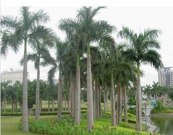 Artificial Roystonea regia tree outdoor and indoor decoration