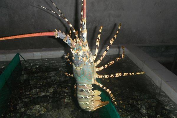 Live Flower Lobster VietNam, AFV Import Export Company