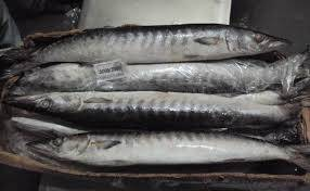 best quality frozen barracuda fish