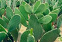 SALE! DISCOUNT! TOP QUALITY! Cactus Extract 10:1 20:1 WEIGHT LOSS