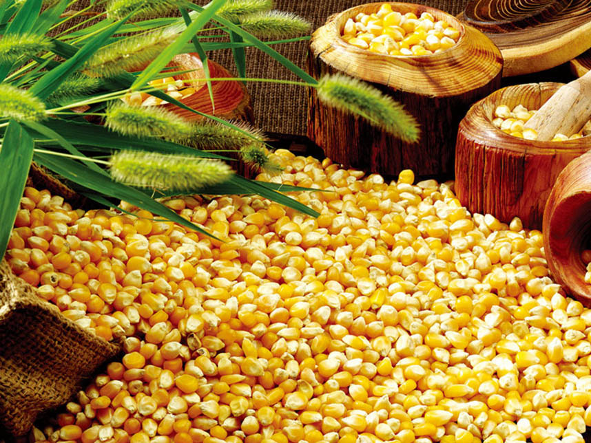 Yellow Maize/ Yellow Corn/ Indian Maize