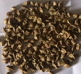 Top Quality Dry Moringa Seeds