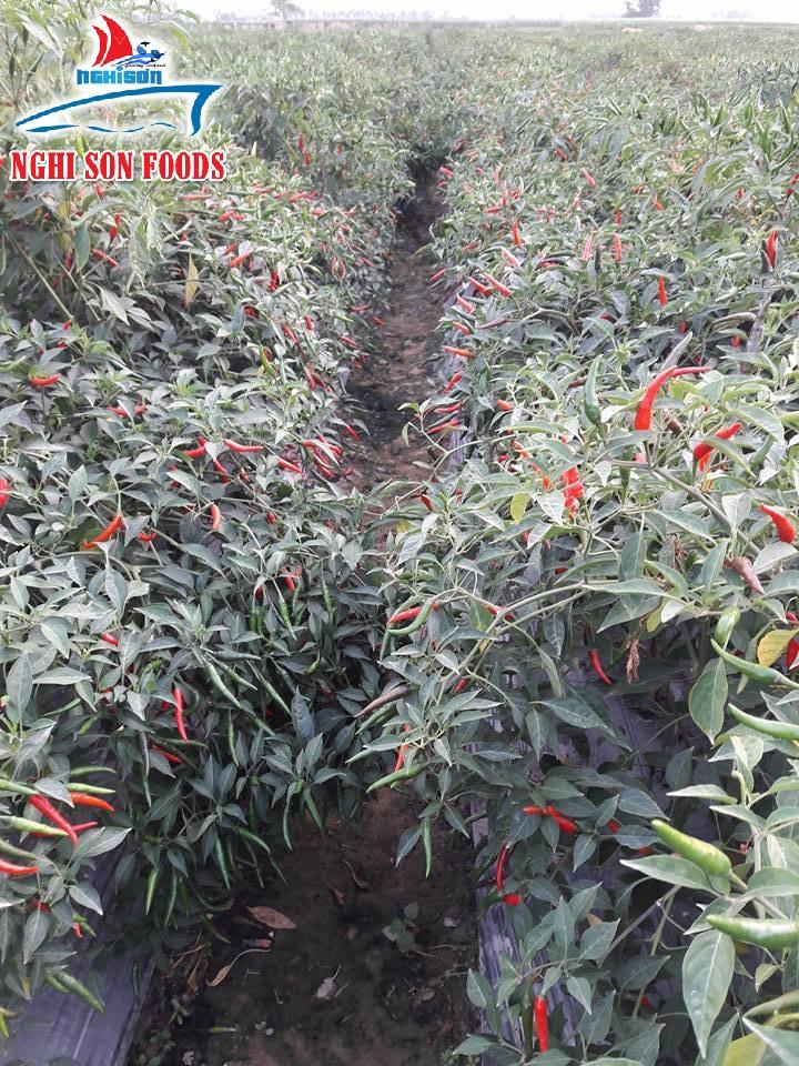 Fresh Chilli (0084 905179759)