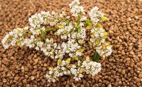 Buckwheat FOB Novorossiysk Russia