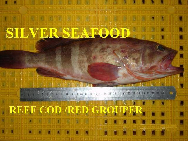 REEF COD/RED GROUPER (WHOLE ROUND)