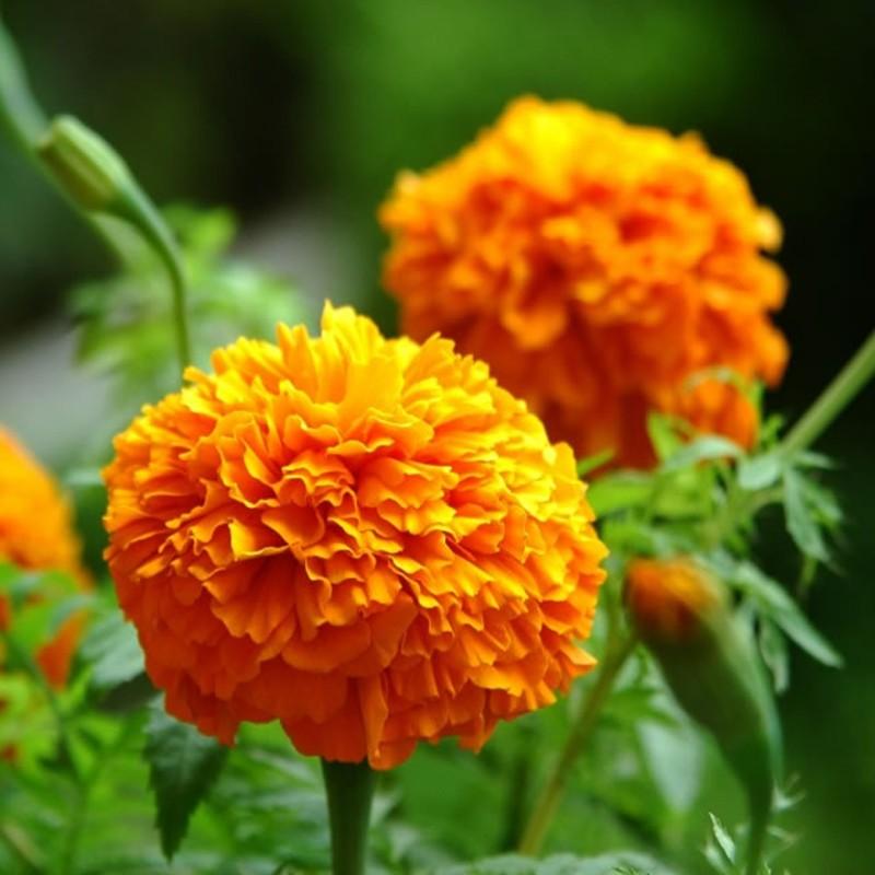 Marigold Flower Extract Zeaxanthin Lutein