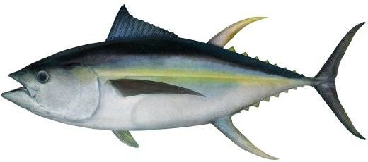 Frozen Yellowfin Tuna - Whole Tuna