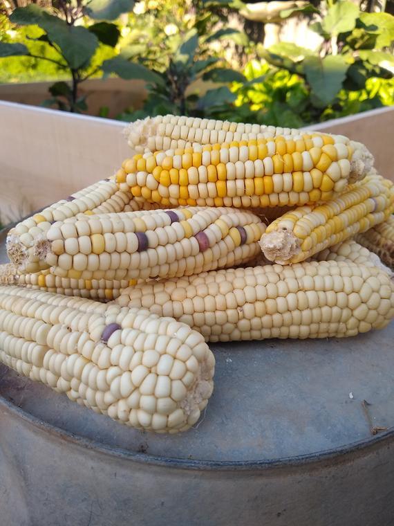 Waxy / Glutinous corn - Kibaco