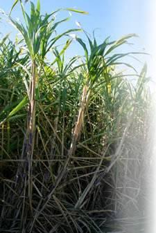 Biofertilizer for Sugarcane, Gluconacetobacter Diazotrophicus, Organic Fertilizer, Symbiotic Nitroge