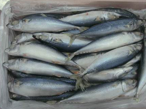 Frozen sardine fish for sale