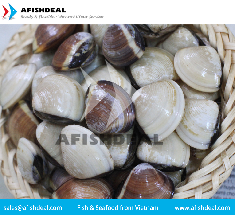 CLAM - SCALLOP - SQUID - CUTTLEFISH FISH - SEAFOOD - MOLLUSKS - FROZEN - ORIGIN VIETNAM