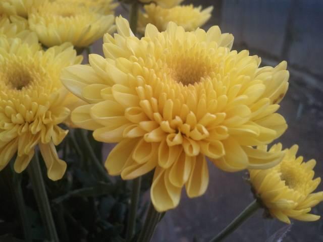 chrysanthmum euro yellow