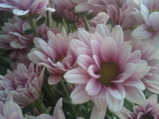 chrysanthemum pink regan