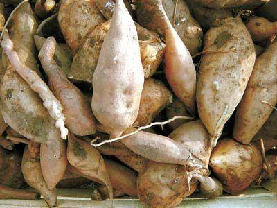 Organic Yacon Root (Syrup, Powder, Dried Slices)