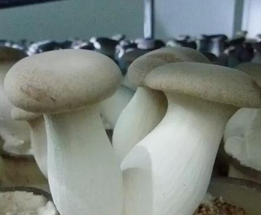 Fresh Mushroom Fungus King Oyster