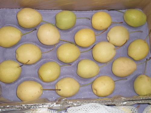 Shan Dong Pear/ Fresh Pear
