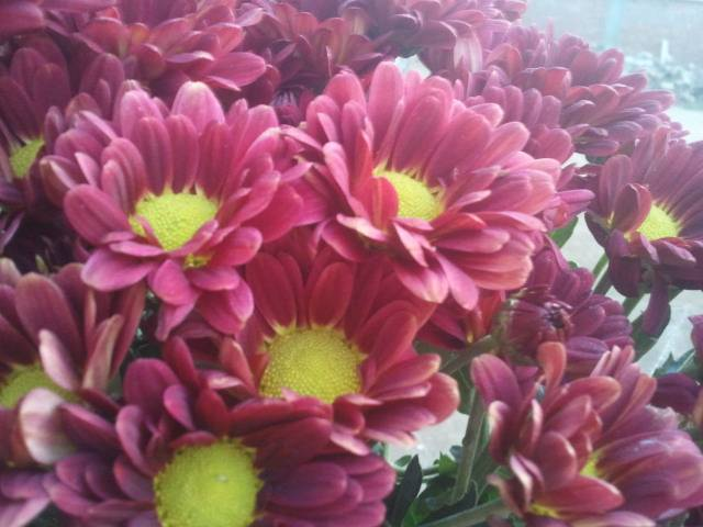 chrysanthemum Red regan