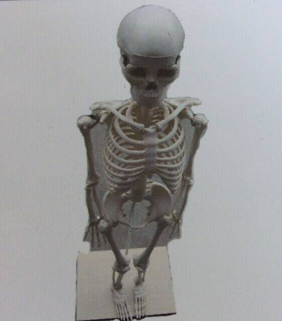 Human Body Model Human Skeleton