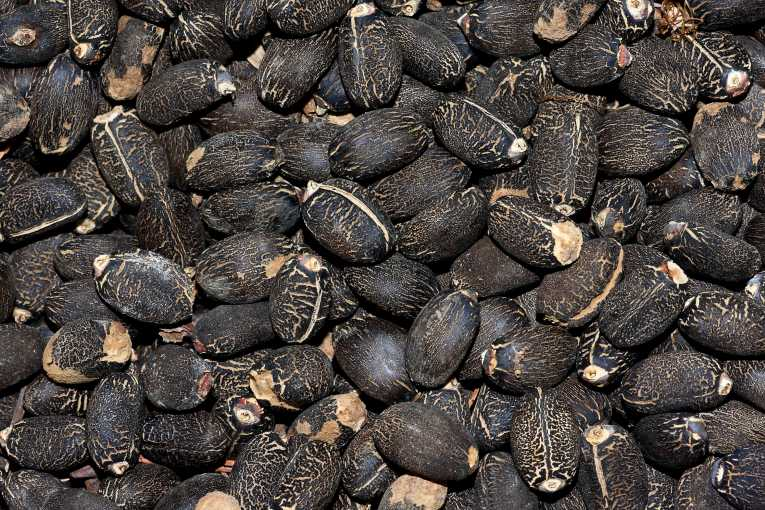 Jatropha seeds discount price