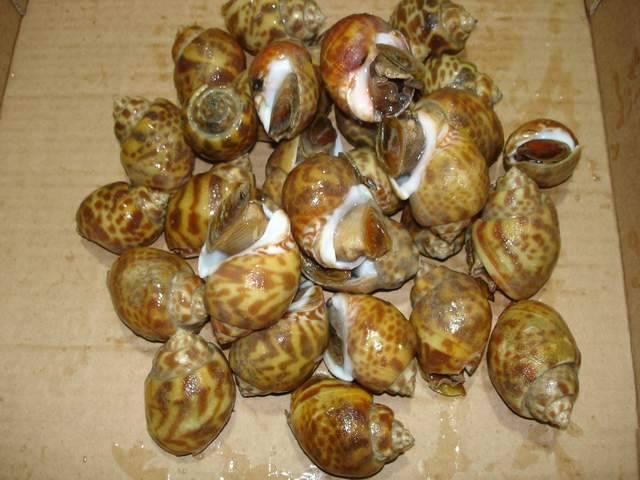 Top Shell (Baby Lonia) BaiGai