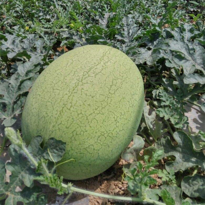 Big pearl planting watermelon hybrid seeds for sale