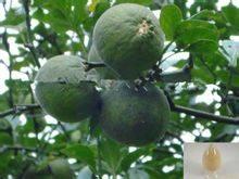 Citrus Bioflavonoid 50%~95%