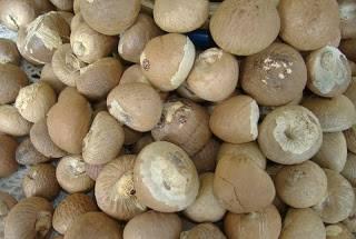 VIETNAM WHOLE BETEL NUT FOR IMPORTER SALE IN BULKK