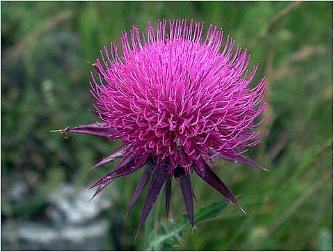 the biggest producer of Milk Thistle Extract in China
