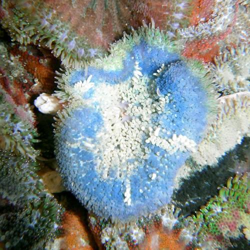 Anemone - Minicarpet Blue
