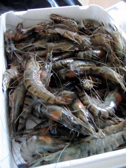 Sea Caught Tiger Prawns /Fresh Prawns/Wild Prawns