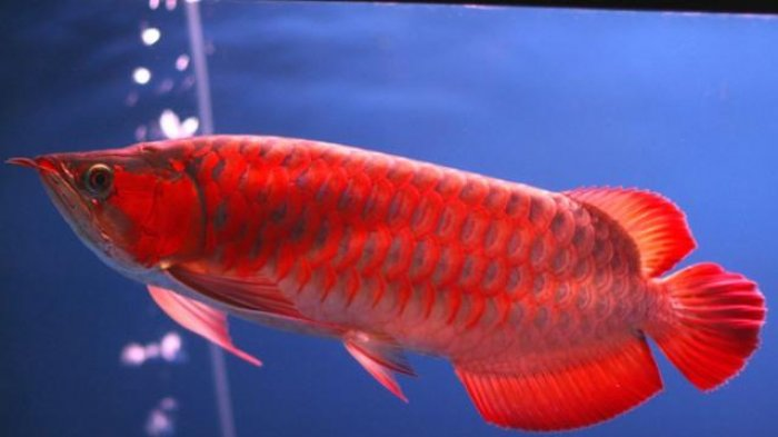 Arowana Ornamental fish