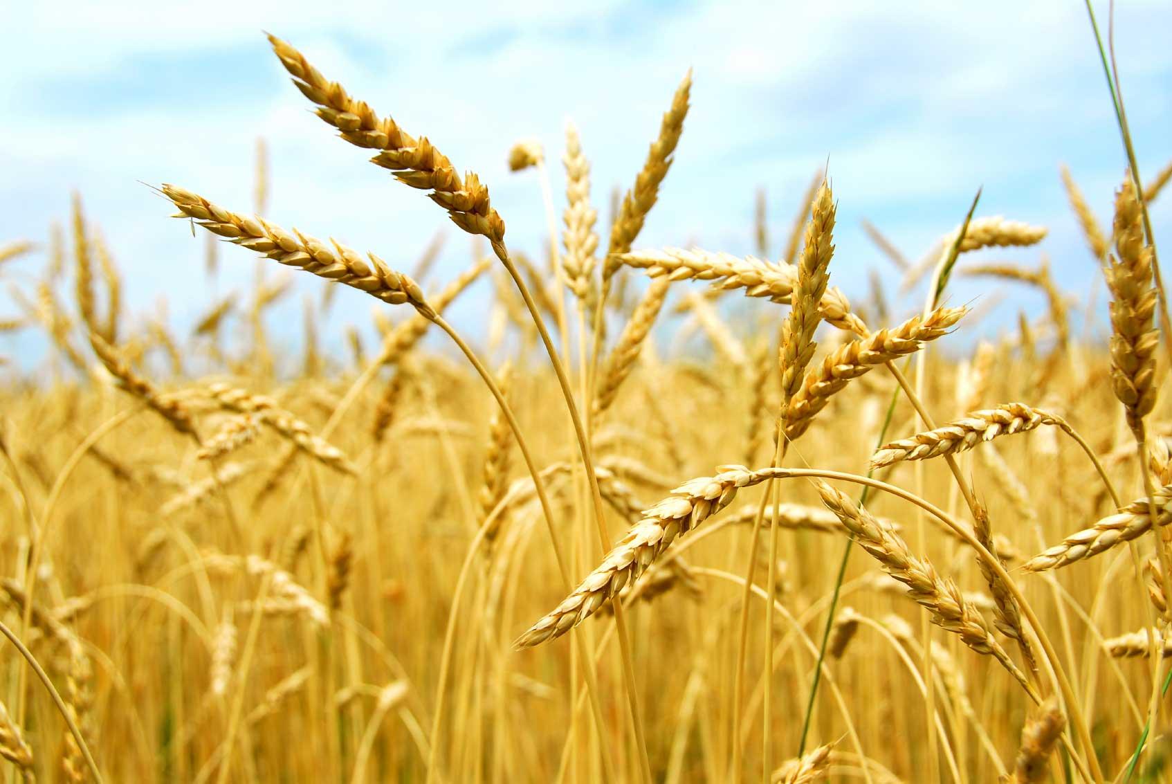 Wheat/wheat flour