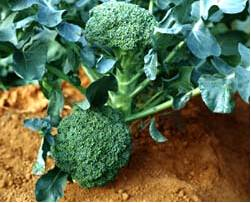High quality Broccoli extract 0.5%-98%(HPLC) sulforaphane anticancer