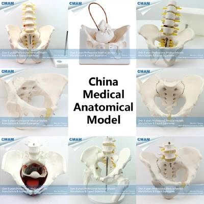 Female/ Male Human Pelvis Model for Patient Commucation
