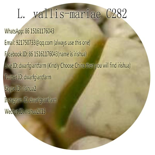 50pcs a set L. vallis-mariae C282 seed 25usd