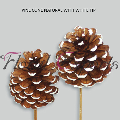 PINE CONE WITH WHITE TIP