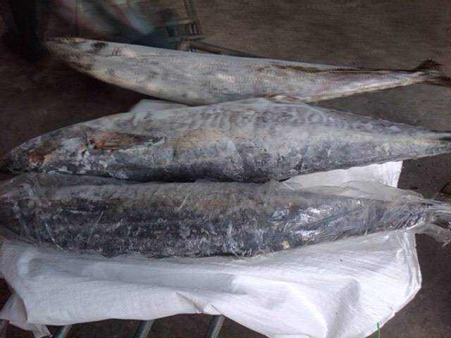 Kingsfish Mackerel