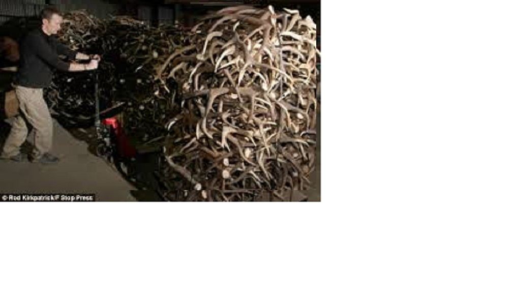 Red Deer Antler Grade A/ Wholesale Animal Horns for Sale and Antlers