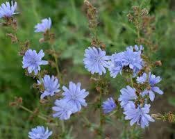Chicory, Radicchio