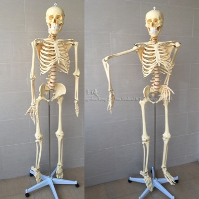 Realistic ,Life Size, Plastic Functional Human Skeleton Model